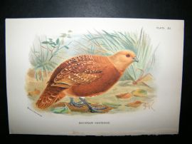 Allen 1890's Antique Bird Print. Mountain  Partridge. Keulemans